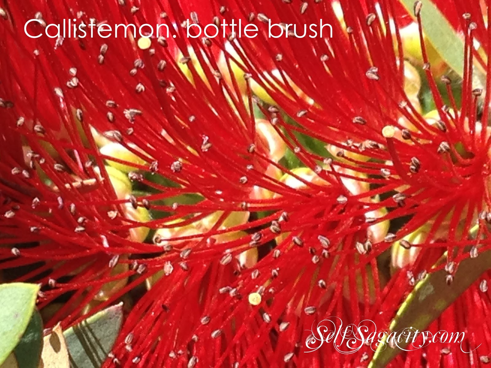 Red Callistemon: Red bottle brush flowers