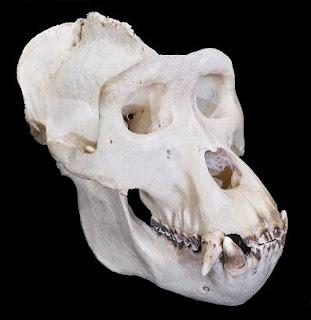 Cráneo de gorila