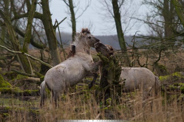 Vechtende Koniks - fighting Konik - Equus caballus caballus