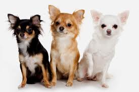 Chihuahuas images