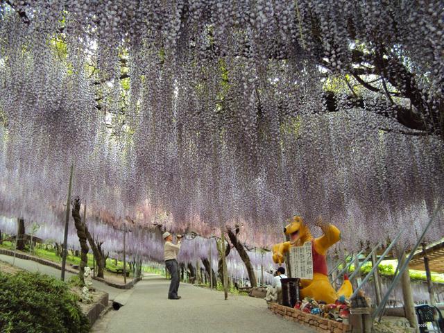 O fantástico túnel de flores Glicínias