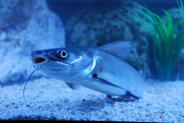 Sea Catfish: Dad with the Best Dieting Plan