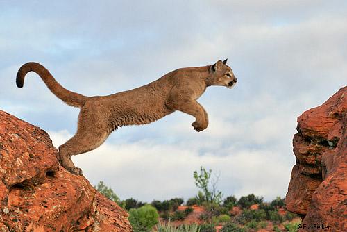 cougar jumping 7912