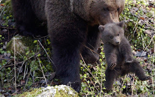 Ursina carries one of her cubs