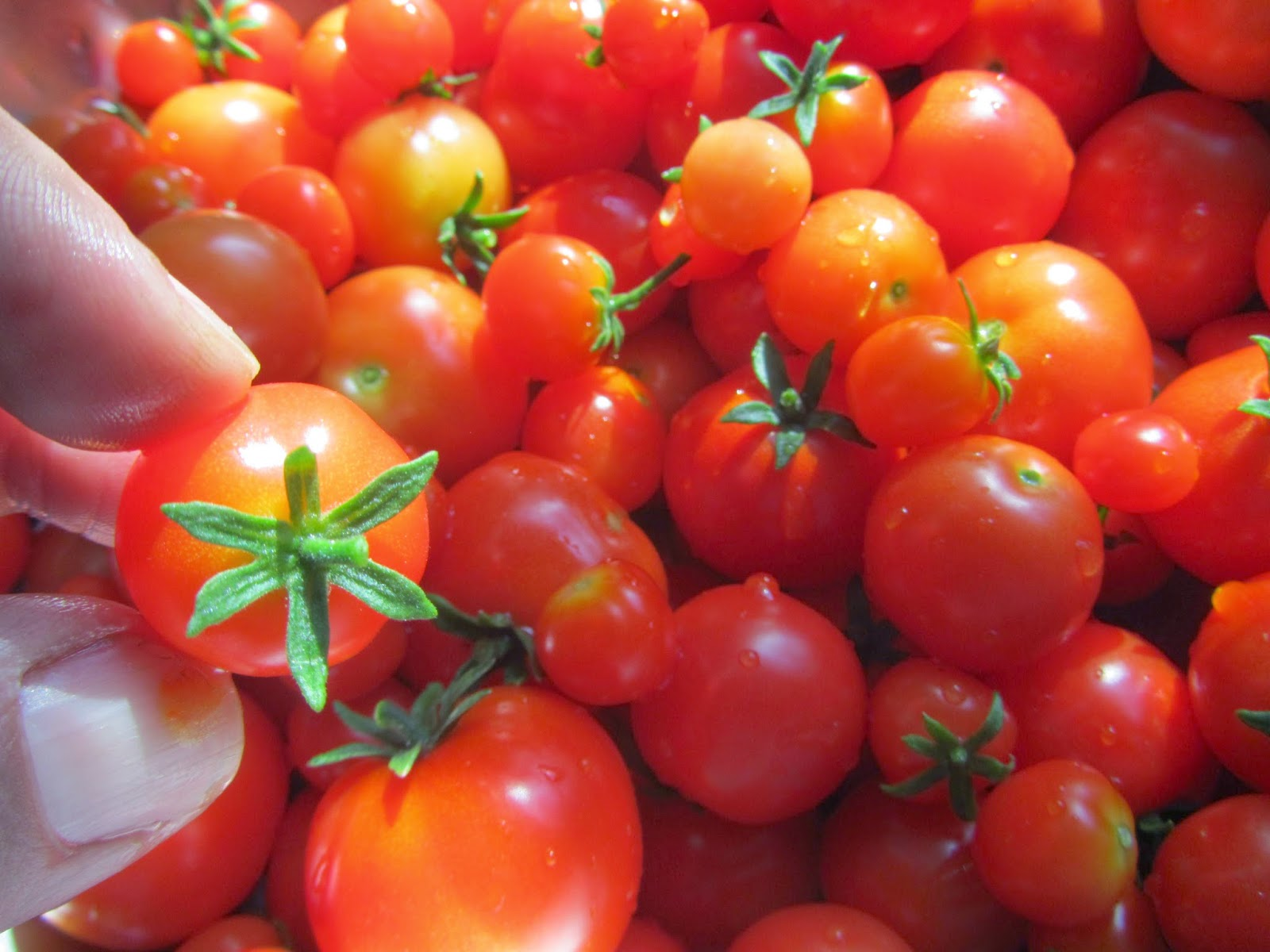 Tiny Tim Cherry Tomato Harvest