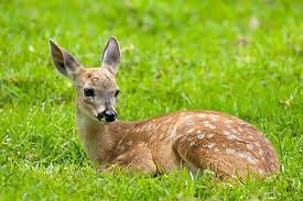 a deer lying in the grass