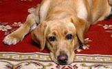 Perros, dogs, cachorros y caninos (wallpapers)