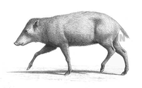 jabalies prehistoricos Cainochoerus