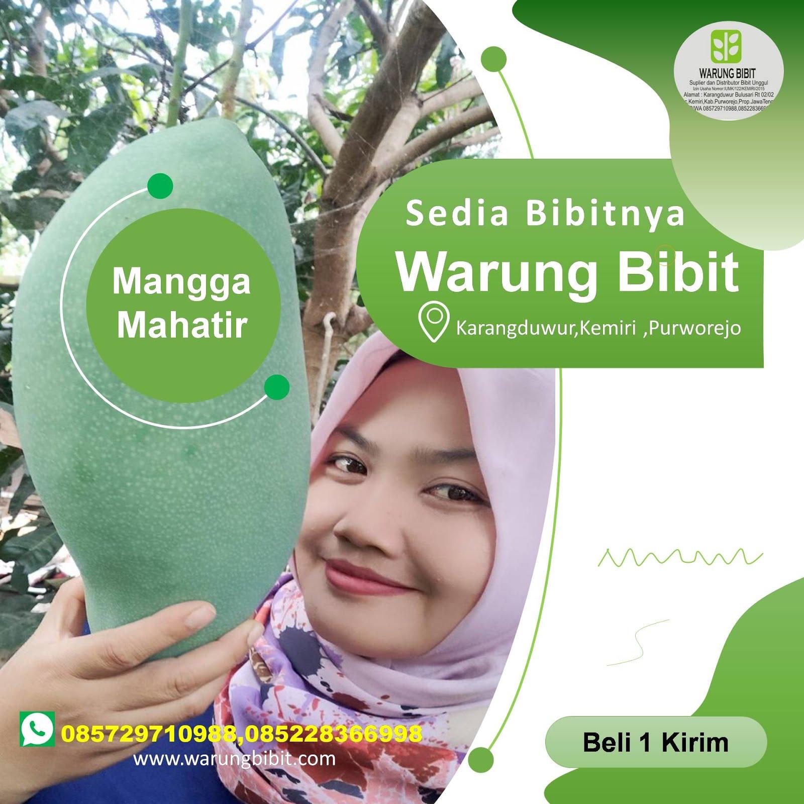 Bibit Mangga Mahatir Unggul