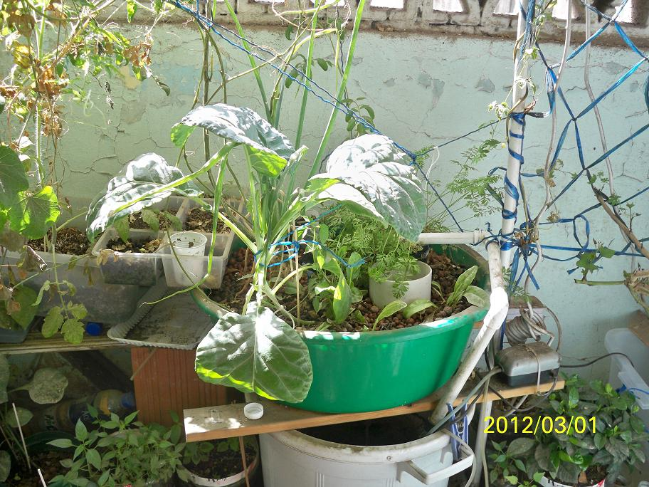 Aquaponicsandgardening pinoy aquaponics and self watering container garden update in jeddah - Self watering container gardening system ...
