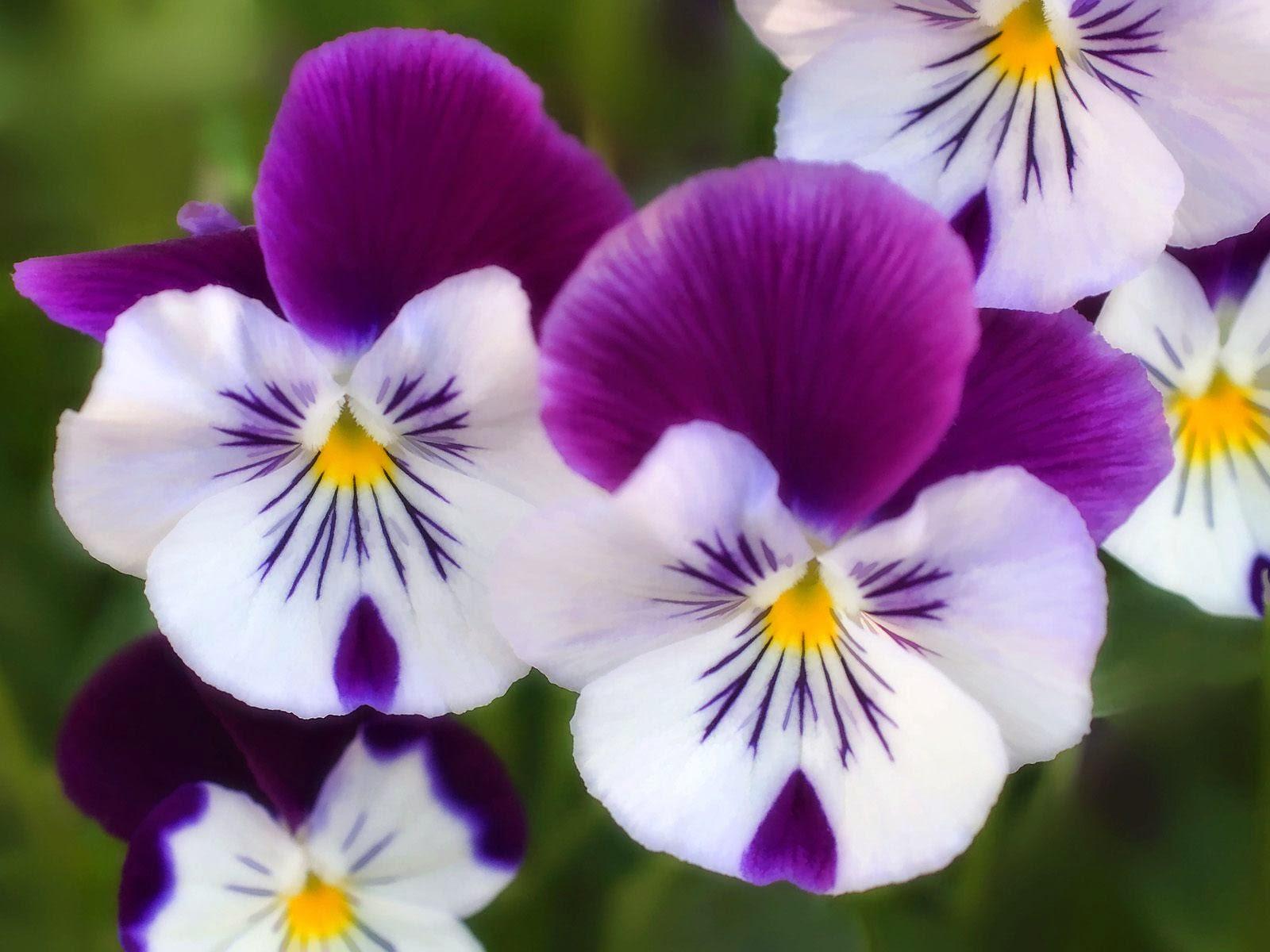 Imagenes De Flores De Pensamiento - Flor, Del, Pensamiento Imágenes gratis en Pixabay