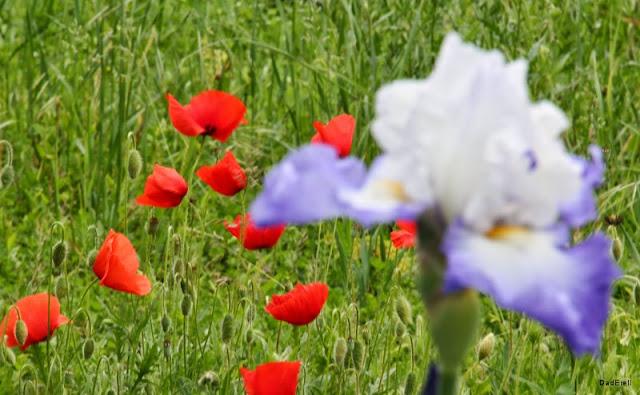 Iris bleu et blanc et coquelicots rouges