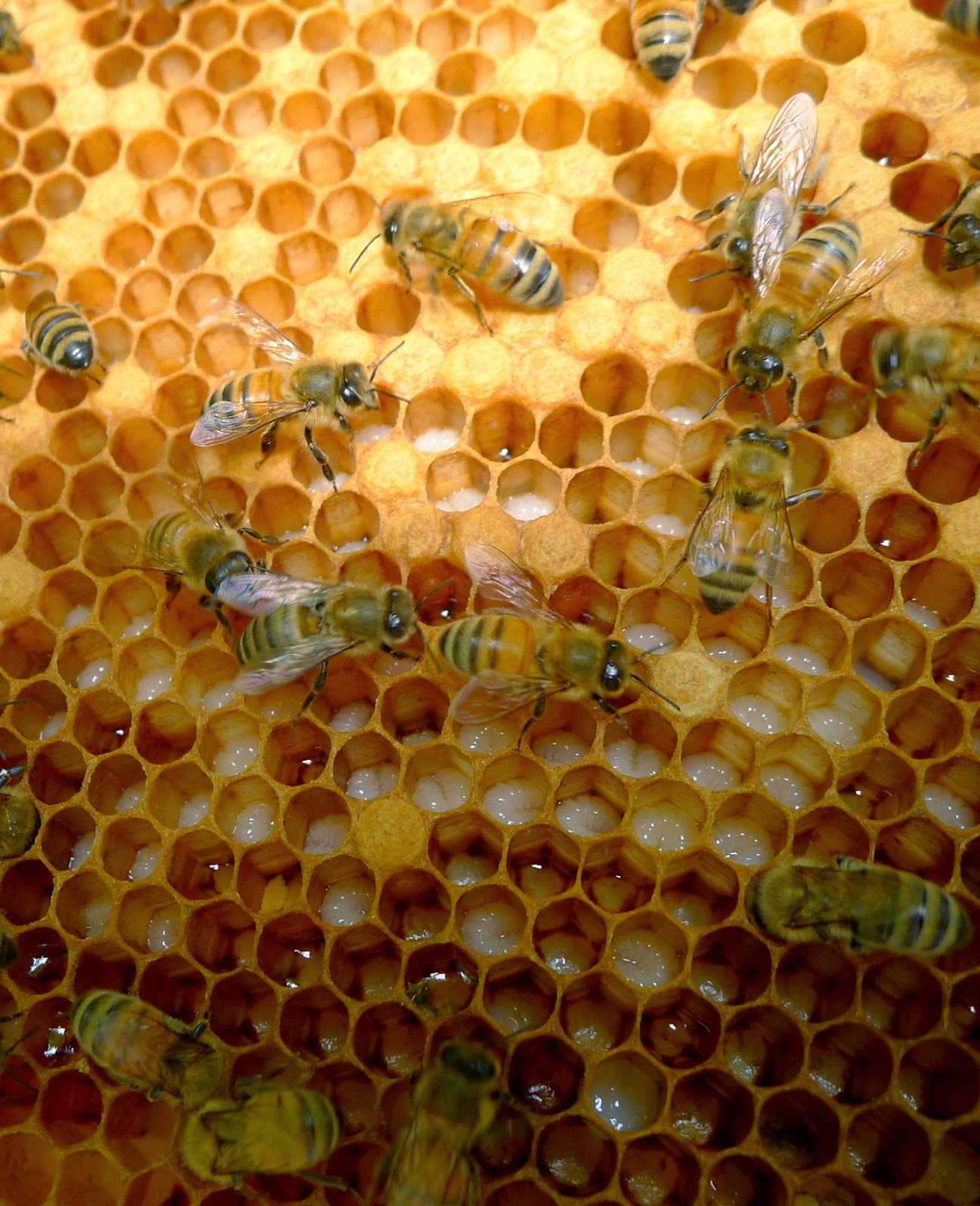 Uncapped brood and honey, URI Master Gardeners, Edible Forest Garden