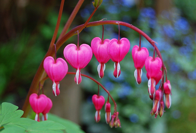 bleeding-heart-flowers.-would-love-to-tr