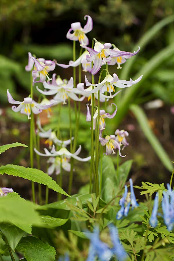 Erythroniums with blue corydalis