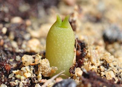 Immaculate Echinocactus polycephalus seedling
