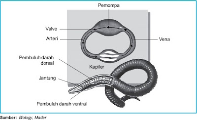 Sistem sirkulasi darah pada cacing tanah