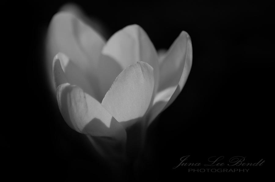 Fotografie Natur schwarzweiß Krokus