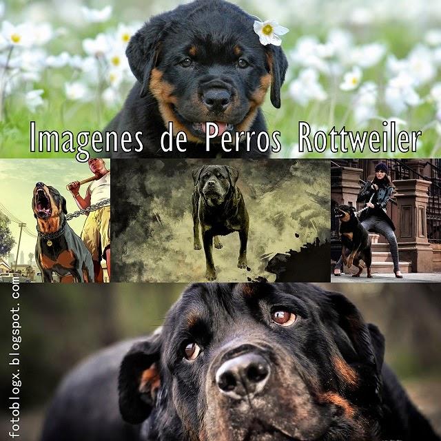 Imagenes de Perros Rottweiler