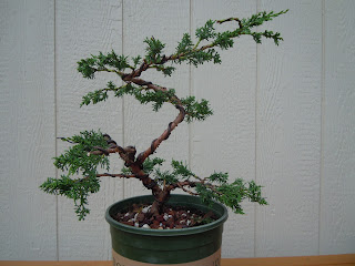 storypath cuentocamino wiring the shimpaku juniper rh storypathcuentocamino blogspot com Indoor Bonsai Trees for Beginners Kits for Beginners Bonsai Trees