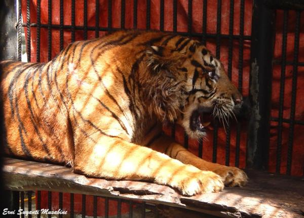 Harimau Giring