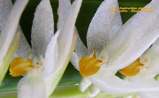 Dendrochilum glumaceum  do blogdabeteorquideas
