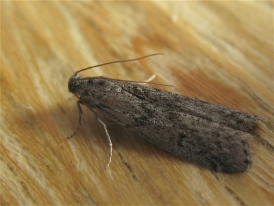 Mediterranean Meal Moth