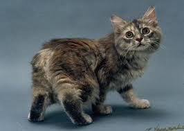 Ras-kucing-Manx