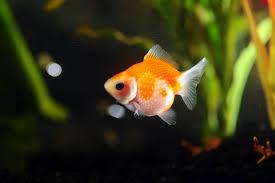 Pirana aquarium l 39 animale domestico pi diffuso al mondo for Quanto vivono i pesci rossi