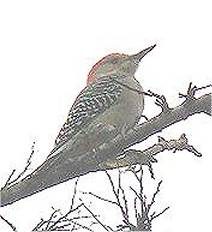 Red-bellied Woodpecker in Texas sits on a branch.