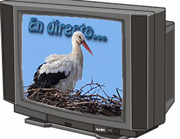 En directo: NIDO DE CIGÜEÑA BLANCA de ARÉVALO