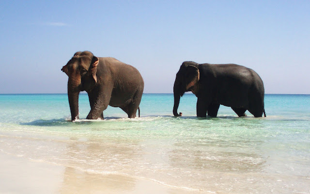 Beautiful animal wallpaper with a picture of two elephants walking in shallow water of the sea at a beach
