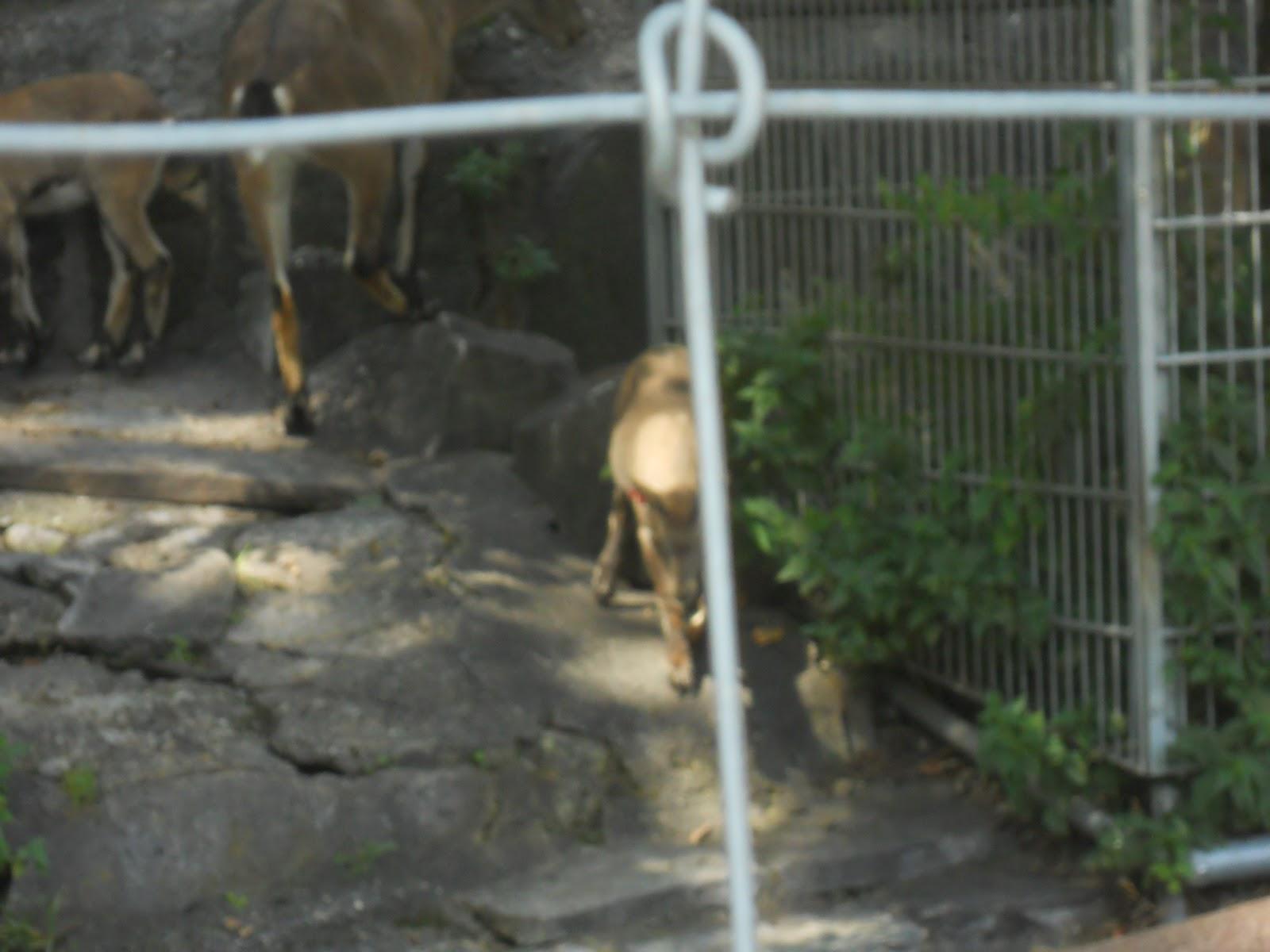 Alpensteinbock (Capra ibex): Bilder von den ...