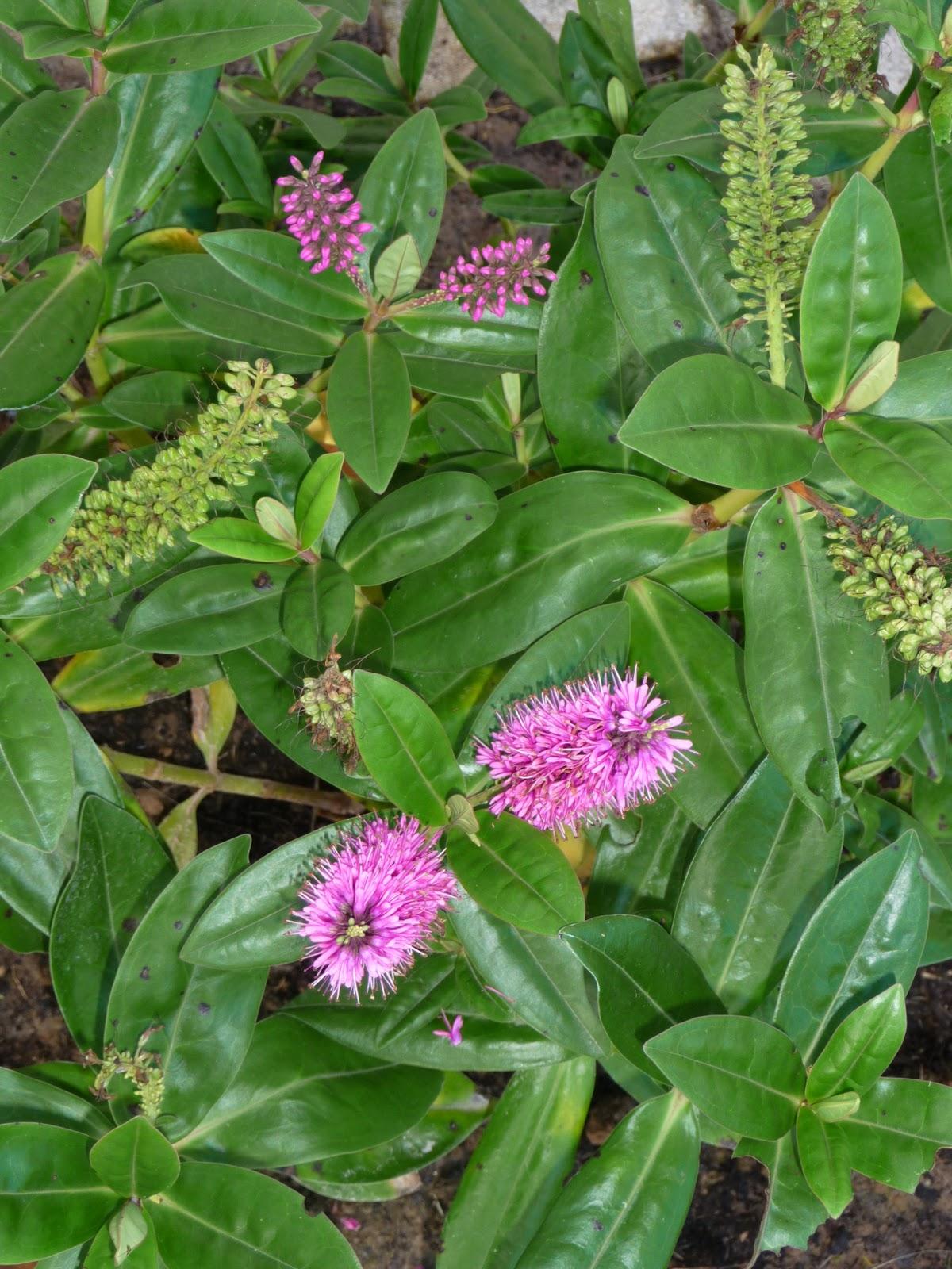 Ma terre de bruy re plantations de la terrasse massif n 1 for Plante arbustive fleurie