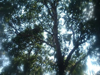 Pohon Sage