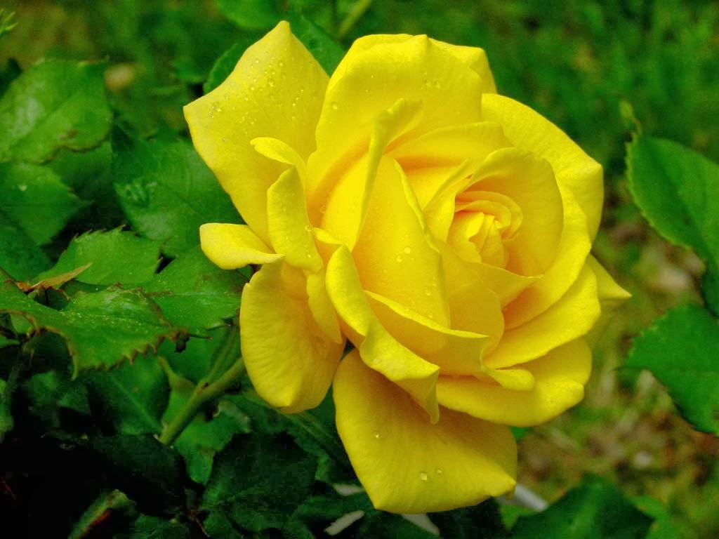 Very Nice Yellow Rose Flowers Wallpapers
