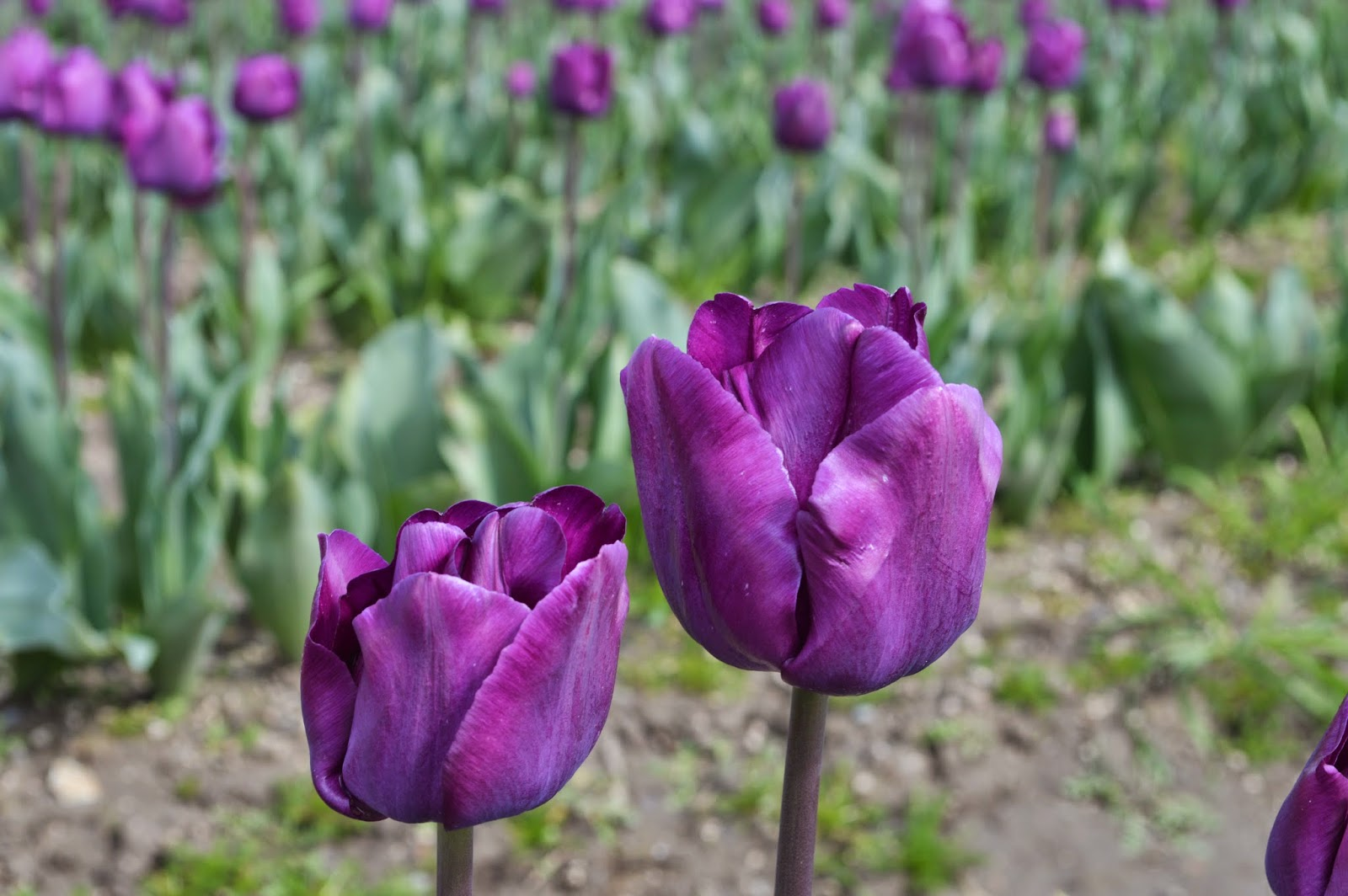 Skagit valley tulips festival. Purple tulips