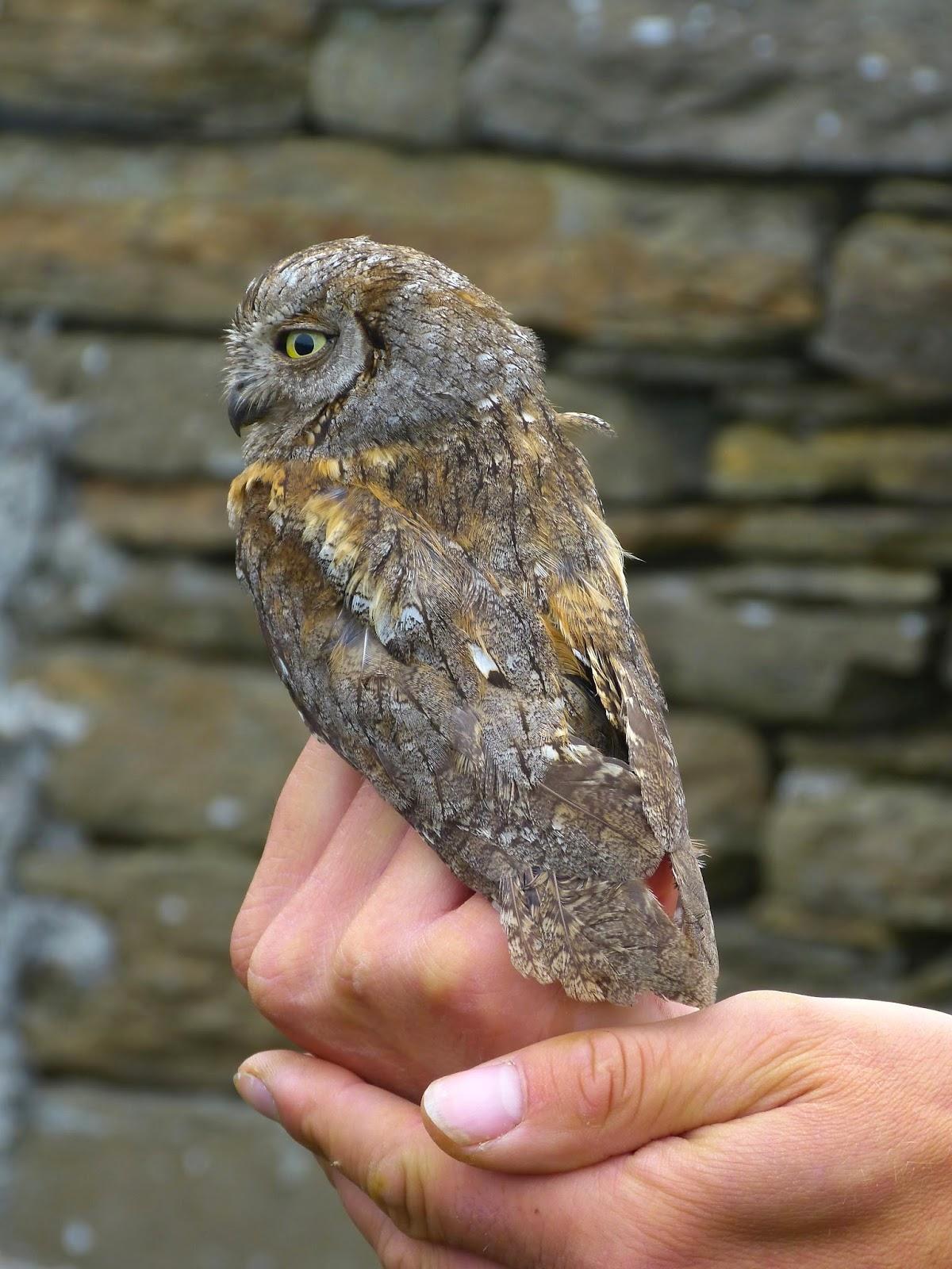 Eurasian Scops-owl - North Ronaldsay - Rael Butcher