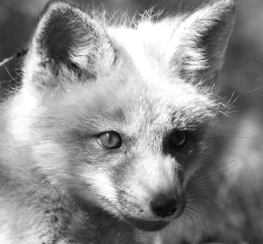30 Day Black And White Photo Challenge Entry #8 Baby Fox ... - photo#29