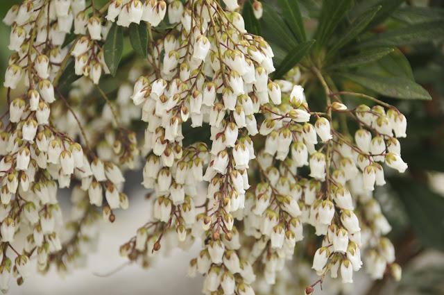 pieris japonica para jardim japonês