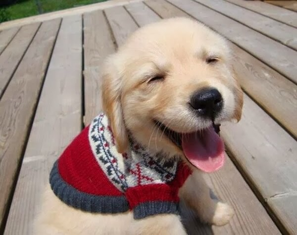 Cute dogs - part 9 (50 pics), golden retriever puppy wears sweater and feels happy