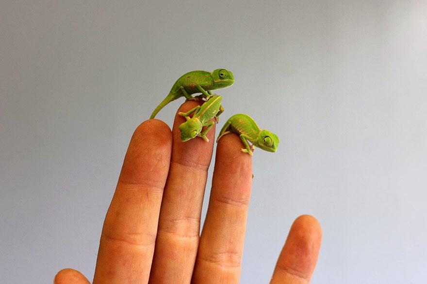newly born baby chameleons Sydney Taronga Zoo-10