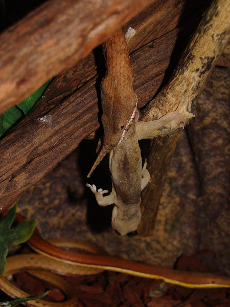 Leaf nosed snake, Langaha Nasuta, Madagascar, cryptic arboreal, Envenomation