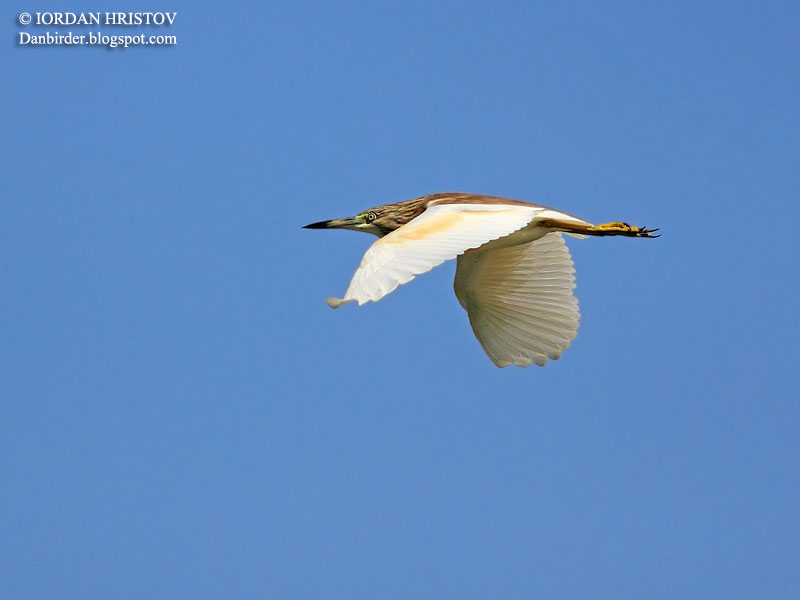 Squacco Heron photography