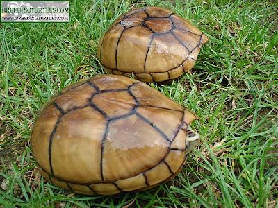 Kinosternon baurii - Tortuga del fango estriada