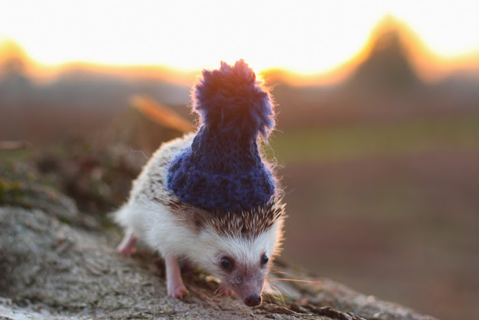 Pendleton the Hedgehog -- akhayley.blogspot.com