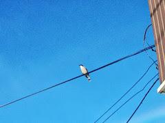 Un diucón posado en un cable sobre la calle Ignacio Carrera Pinto