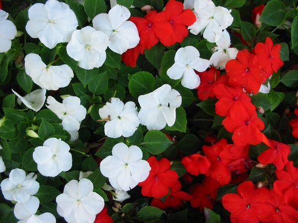 L 39 impatiens walleriana flore de l le de la r union - Impatiens de guinee l hiver ...