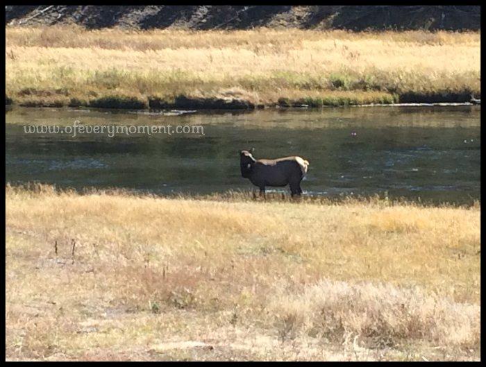 cow elk, elk, Yellowstone Park, Montana