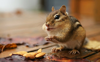 Chipmunks Wallpaper